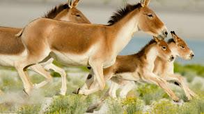 Wild Horses of the Himalayas thumbnail