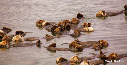 Photo: (Year 3) Day 20 - Otters Floating