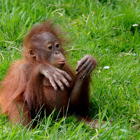 mom left me alone! by Fred Goldstein - Animals Other Mammals ( zoo, orangutan, france, baby, monkey,  )