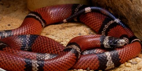 Image result for sinaloan milk snake