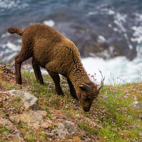 Hill Goat by the Sea by Stuart Walker - Animals Other (  )
