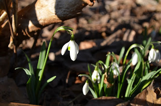 Photo: Snow drop - a winter treat