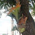 Elkhorn ferns - Chifre de Veado
