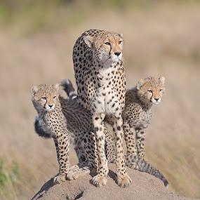 Cheetah and her cubs by Kjetil Salomonsen - Animals Lions, Tigers & Big Cats ( africa, bigcats, cat, masaimara, cheetah, savannah, cubs )