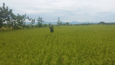 Photo: Johnny Subong, a rice farmer in Iloilo, the Philippines, with his 4 hectare SRI site. [Photo courtesy of Joby Arandela, The Philippines, 2015]