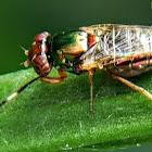 Ulidiid fly