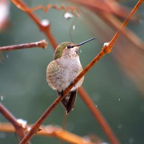 A Cold Female Anna's Hummingbird by Steve Kane - Animals Birds