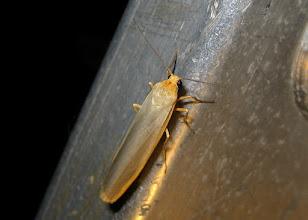 Photo: Eilema complana     Lepidoptera > Erebidae