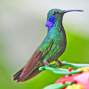 Green Violet-Ear Hummingbird.jpg