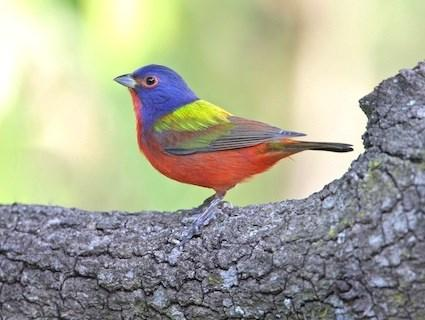 Painted Bunting Live Wallpaper