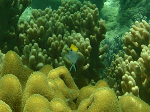 Photo: Paraglyphidodon melas (Bluefin Damselfish), Panglao Island, Philippines