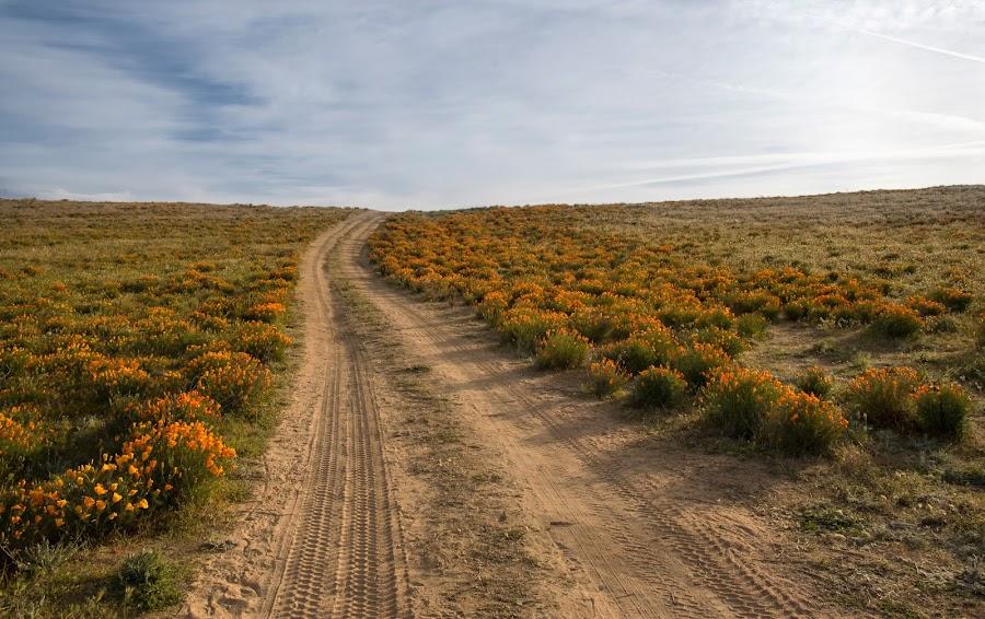 Dirt Road Through Poppies by Doug Chesser - Landscapes Prairies, Meadows & Fields ( douglas chesser, wildflowers, dirt road, poppies, doug chesser, antelope valley, poppy bloom, ca poppies )
