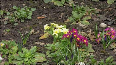 Photo: Primula (Primula: veris, vulgaris)  - din Turda, Str. Amurgului - 2019.03.20
