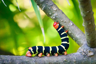 Photo: Today is the day you get to see an awesome caterpillar! This one had just finished eating some plumerias and was crawling along to chow down on another bunch of flowers.