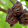 Morcego-das-frutas (Great Fruit-eating Bat)