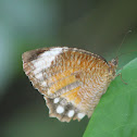 Common Palmfly (female)