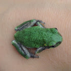 Gray/Cope's GrayTree Frog