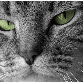 Missau by Matt Workman - Animals - Cats Portraits ( cat, black and white, cat portrait, color splash, green eyes )