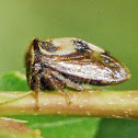 Two-Horned Planthopper
