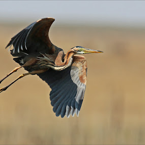 Purple heron by Johann Harmse - Animals Birds ( nature, action, heron, purple heron, in flight,  )