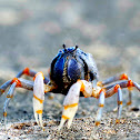 Blue Soldier Crab