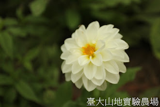 Photo: 拍攝地點: 梅峰-溫帶花卉區 拍攝植物: 大理花 拍攝日期:2012_05_26_FY