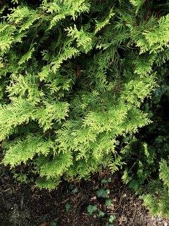 Żywotnik zachodni Aurescens thuja occidentlis