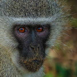 vervet monkey by Peter Schoeman - Animals Other Mammals ( chlorocebus, travel, close, eyes, staring, nature, watching, safari, head, black, wild animal, wild, isolated, langur, omnivore, alert, white, vervet, mammal, portrait, sitting, near, social creature, adorable, primate, small, chlorocebus pygerythrus, face, south africa, wildlife, beauty, cute, looking, front view, gonarezhou, ape, fur, grey, kruger, africa, animal, macaque, creature, beautiful, funny, cercopithecidae, national park, vervet monkey, bask, monkey )
