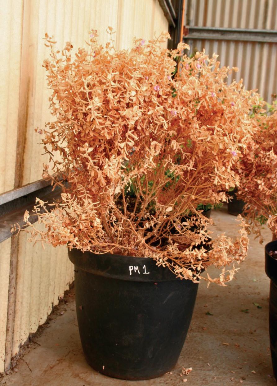 Zdjęcie uschniętej rośliny wykazującej zerową przewodność stomatalną :(