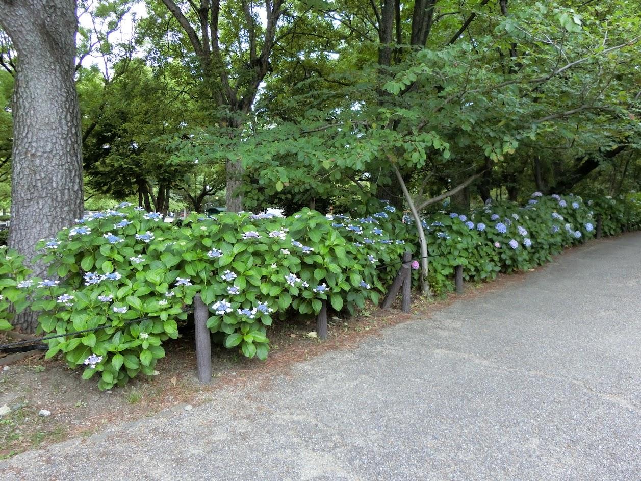 鶴舞公園あじさい散歩道入り口付近