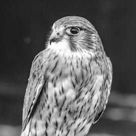 Merlim by Garry Chisholm - Black & White Animals ( raptor, merlin, bird of prey, nature, garry chisholm )