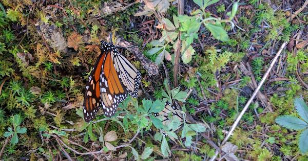 Mariposa Monarco, Sierra Chincua · 9 nieuwe foto's toegevoegd aan gedeeld album