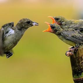 Whose turn is it ? by Husada Loy - Animals Birds (  )