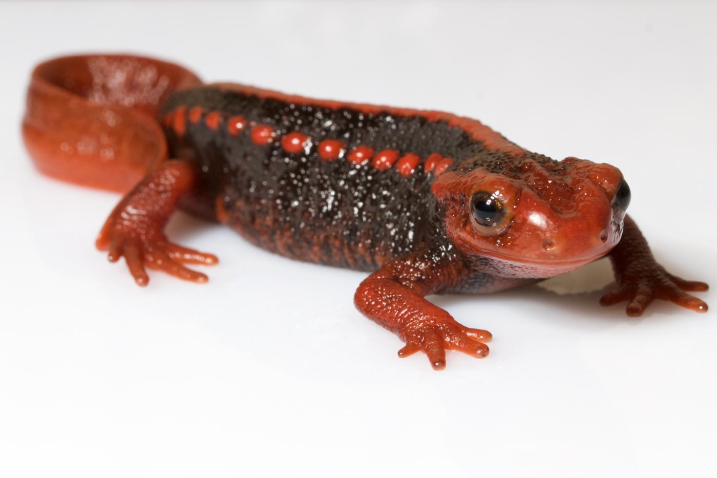 Image result for emperor newt