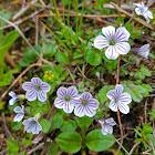 Gypsophylla