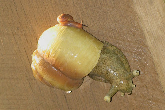 Photo: Our piggy-back land snail!