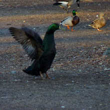 Photo: Domesticated Mallard with normal Mallards in the background.