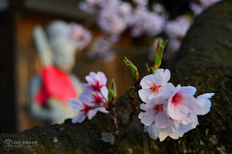 Photo: Cherry Blossoms with an idol from a local shrine in the background - this shrine is on the side of a mountain that was right behind my apartment.