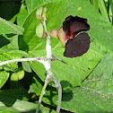 Purple bush-bean