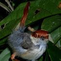 Rufous-Tailed Tailorbird