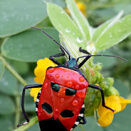 Red Beetle in rain by Prema Pangi - Animals Insects & Spiders ( red beetle, beetle, re, beetle in rain, beetle on flower )