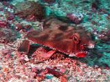 Photo: Red Lipped Batfish ou Poisson Chauve-souris à lèvres rouges (Ogcocephalus porrectus) endémique à Cocos Island (2010)
