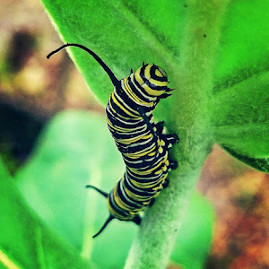 Monarch Caterpillar 2-12-2018.jpg