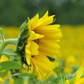 Sunflowers by Karen Noble - Flowers Flower Gardens (  )
