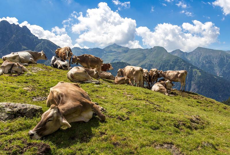 Mucche al pascolo di Atum-Pietro