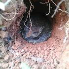 Graveyard Toad / Javanesse Toad