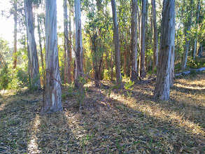Photo: The eucalyptus sprouts in this picture will be 30' tall in 5 years. As you can see by the area next to the clear floor, the ground fuels accumulate very rapidly under eucalypti.
