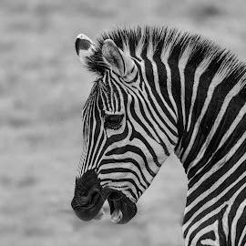 Zebra by Barry Smith - Black & White Animals ( mammals, nature, monochrome, animals, black and white )