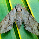 Plain grey hawkmoth