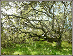 Photo: Tree in Helen Putnam State Park, near Petaluma CA
